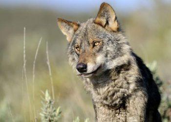 EQUO reclama la recuperación del lobo como la mejor forma de controlar la fauna mayor en Sierra Morena