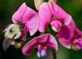 Los abejorros se extinguen al ritmo de la crisis climática