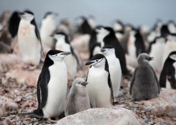 Greenpeace denuncia que algunas colonias de pingüinos de la Antártida ya han disminuido hasta en un 77%