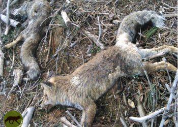 Madrid autoriza cazar en el 60 % de la región, en época de cría y confinamiento