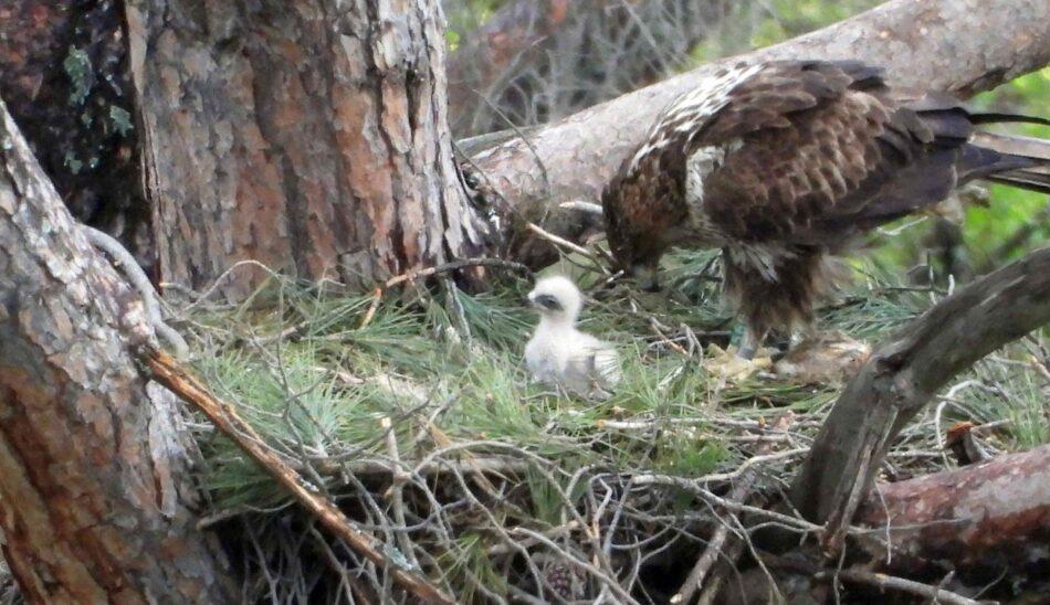 El proyecto AQUILA a-LIFE registra un récord sin precedentes de nacimientos de águilas de Bonelli
