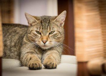 Detectado el primer gato infectado con el nuevo coronavirus en España