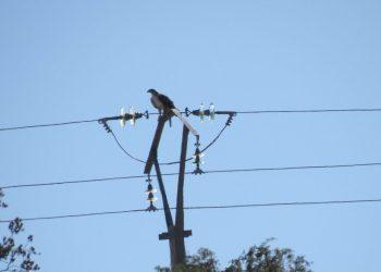 Un proyecto de conservación logra 1.200 postes eléctricos dejen de ser mortales para el águila de Bonelli