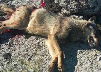 Condena a los dos cazadores que mataron un lobo en una cacería en 2015