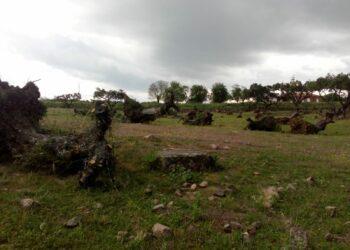 «Extremadura da la espalda a sus olivos centenarios»