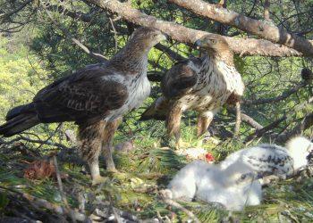 Las águilas de Bonelli de la Comunidad de Madrid sacan adelante siete pollos en 2020, su año más exitoso