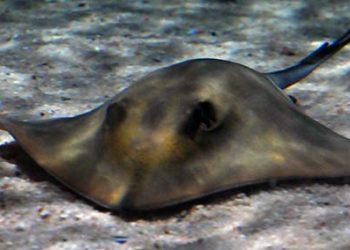 Ecologistas en Acción denuncia la aparición de decenas de rayas muertas en Sancti Petri