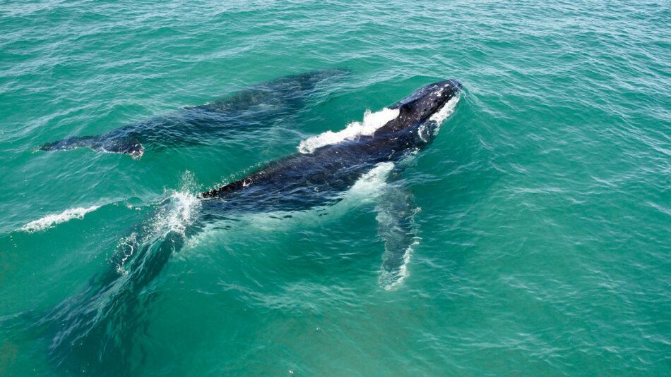 Ballenas jorobadas toman el camino equivocado y terminan en un río infestado de cocodrilos