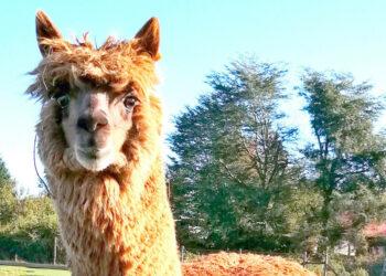 W25, el poderoso «superanticuerpo» de alpaca descubierto por científicos chilenos capaz de neutralizar el coronavirus
