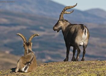 Piden la suspensión de la caza de la Cabra montés en las zonas incendiadas de la Vera y Jerte