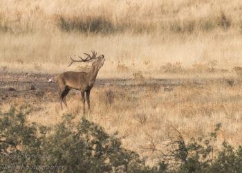 Ecologistas Extremadura quieren que se deje de autorizar la caza de ciervos durante la Berrea