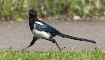 Cuervos y urracas muestran una inesperada generosidad