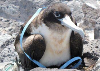 Los plásticos amenazan incluso a las aves marinas de las zonas más remotas