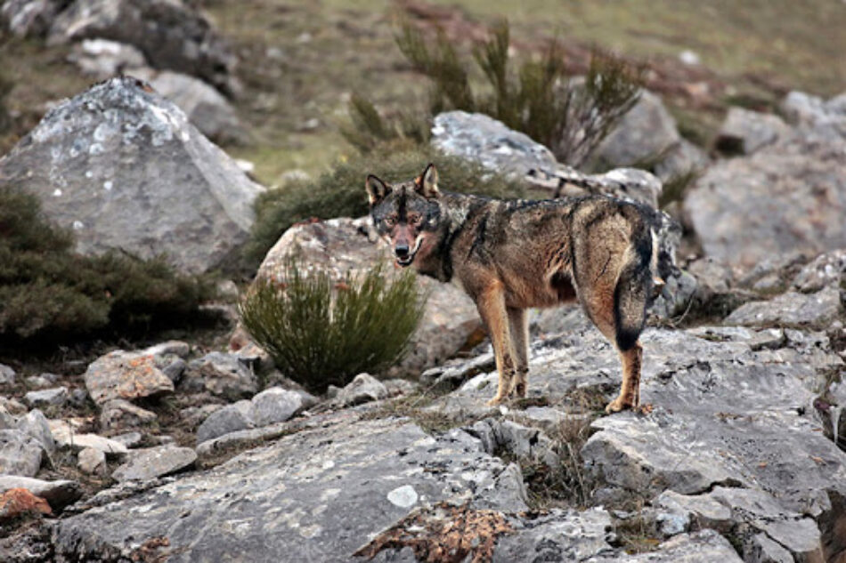 El Gobierno trabaja por la ampliación de la protección legal del lobo en España
