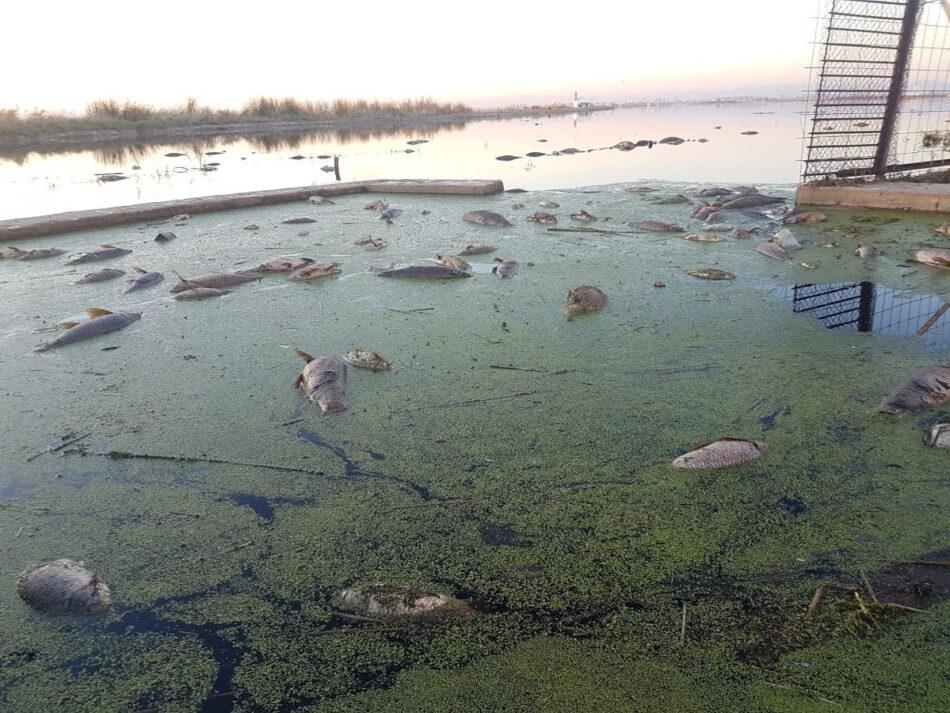 Fundación Global Nature alerta del riesgo de que L'Albufera se convierta en un Mar Menor tras la aparición de peces muertos en los arrozales