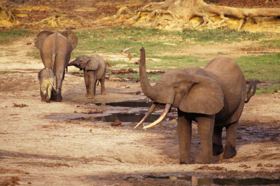 El marfil de un buque hundido del s. XVI da nuevas pistas sobre los elefantes del África Occidental