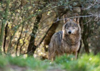 Ecologistas en Acción reclama a Teresa Ribera la protección inmediata del lobo