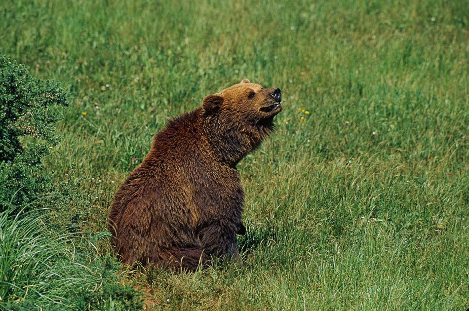 Cómo lograr la coexistencia pacífica entre osos y humanos