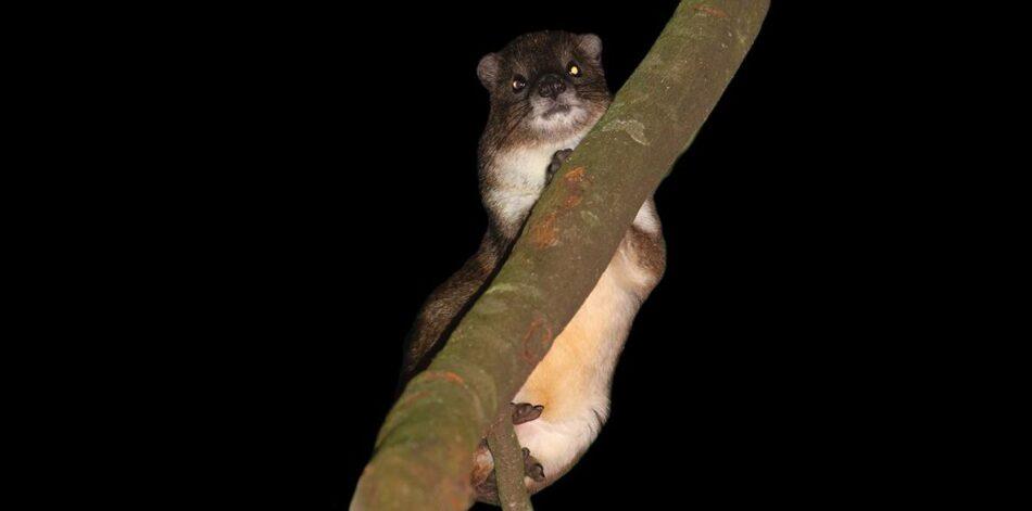 Las canciones de este mamífero delatan una posible nueva especie en Kenia