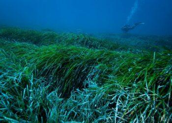 Las praderas marinas de posidonia pueden capturar y extraer plásticos vertidos al océano