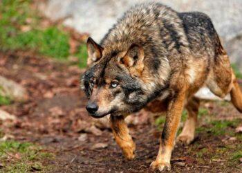 Las ONGs ambientales manifiestan su apoyo a una mayor protección del Lobo ibérico y la Tórtola europea