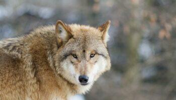 Los lobos de Mongolia prefieren alimentarse de animales salvajes que de ganado