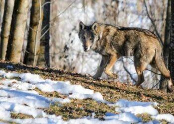 Histórico acuerdo de protección del lobo