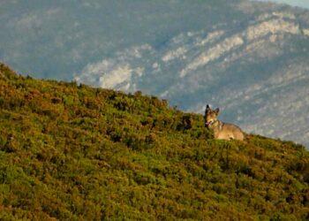 46 entidades reclaman una oportunidad para la conservación del lobo en España