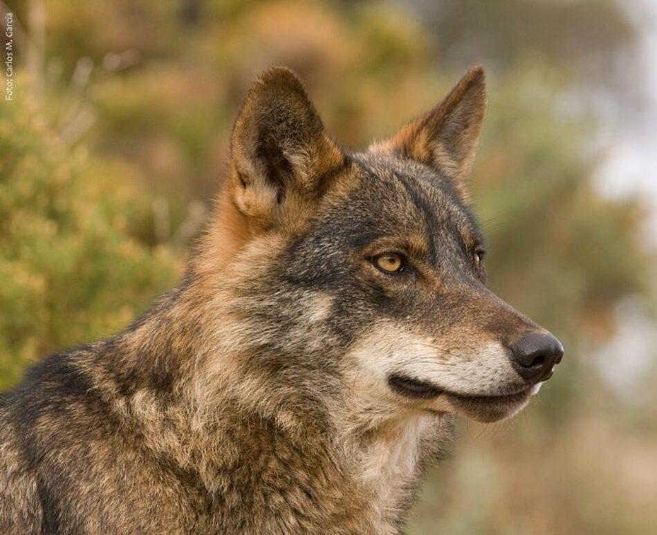 Equo pide una nueva Estrategia Nacional de Conservación además de proteger al lobo en todo el territorio