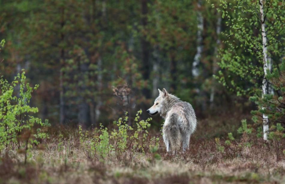 Compromís llevará al pleno del Senado la necesidad de proteger el lobo como especie protegida