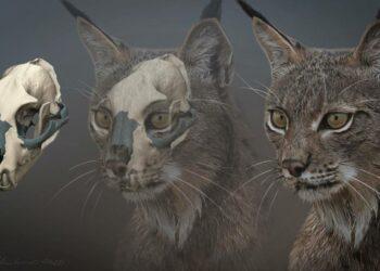 El amenazado lince ibérico habitó en Italia hasta hace 40.000 años