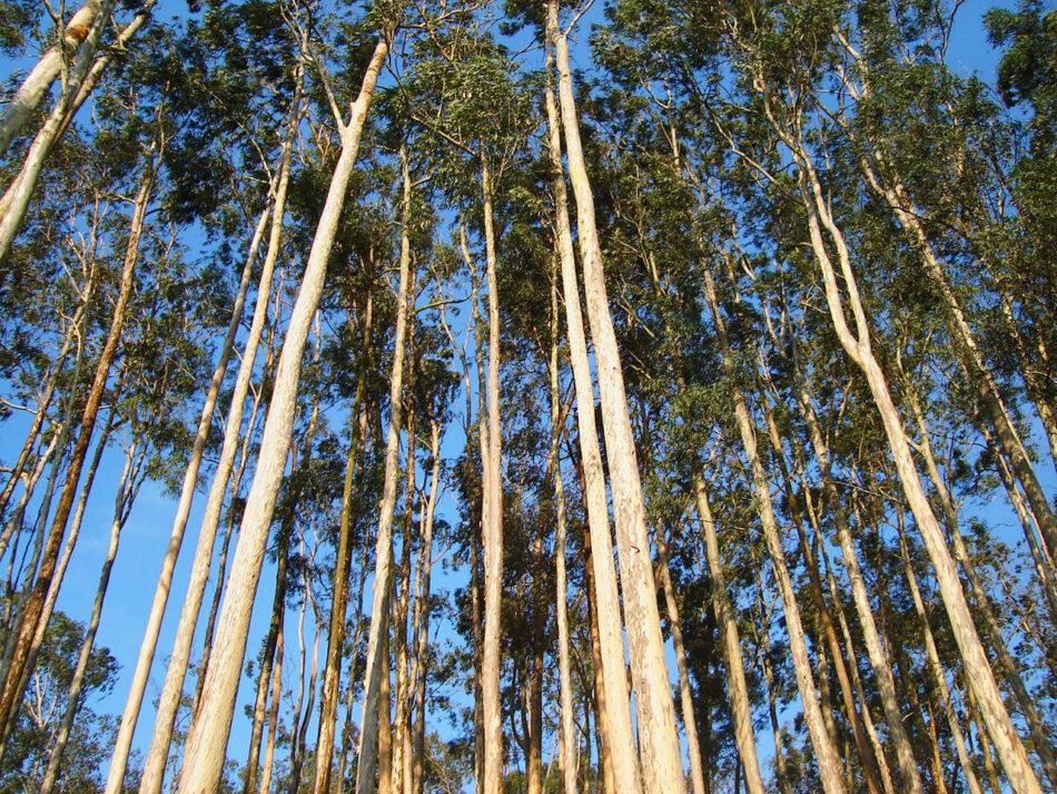 Entidades de defensa ambiental piden una moratoria al eucalipto en Asturias