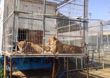 PACMA denuncia el estado de los animales del circo instalado desde hace más de un año en Arjona (Jaén)