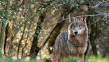 Verdes EQUO pide la inclusión del lobo en el catálogo de especies amenazadas