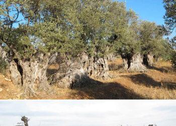 Destruyen olivos centenarios, plantados por los moriscos en el siglo XVI, en las obras de construcción del embalse de Mularroya