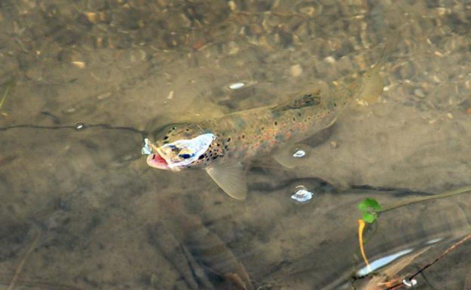 Extinguida la trucha común autóctona en la cuenca del río Cofio