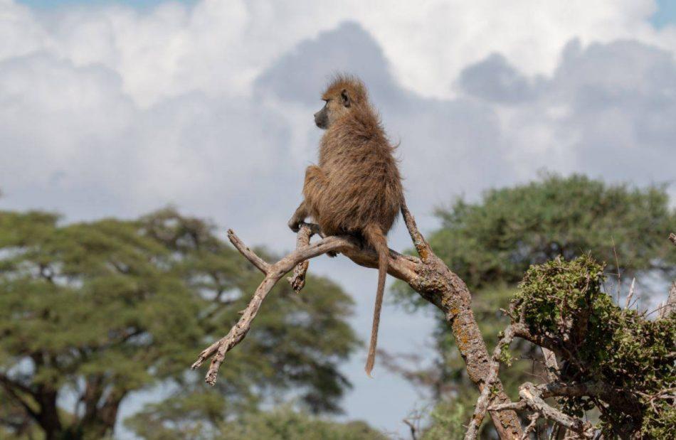 El estrés crónico puede reducir la esperanza de vida de los babuinos salvajes