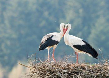 Solicitan amparo para a parella cigoñas brancas