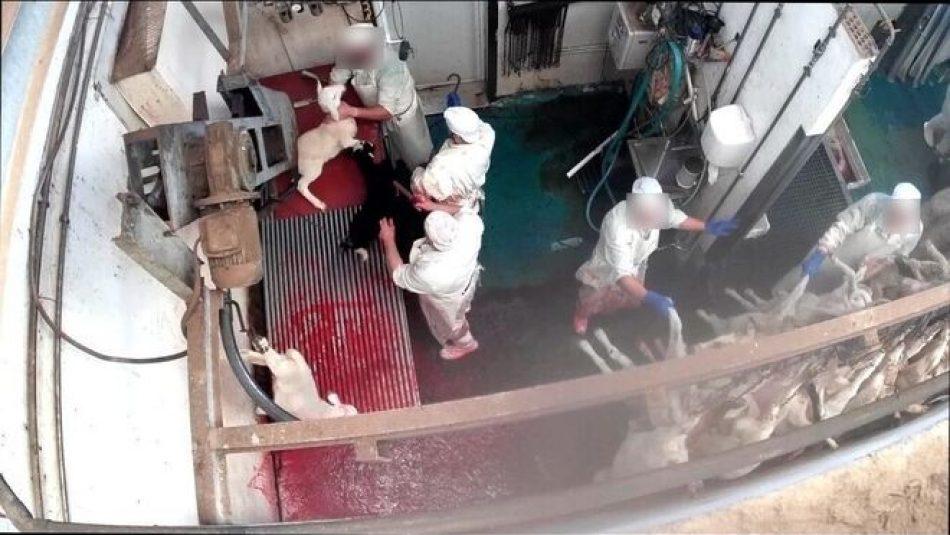 PACMA pide al Gobierno que el Real Decreto que regulará la instalación de videovigilancia en los mataderos se haga extensivo a laboratorios de experimentación con animales