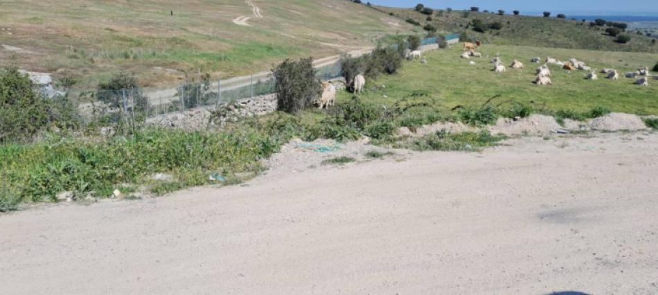Nadie saca las vacas que están pastando en el vertedero de Colmenar Viejo