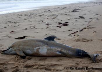 La falta de acción de los gobiernos español y francés se traduce en miles de delfines muertos cada invierno