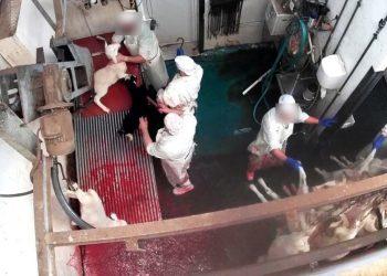 Equalia detecta errores legislativos en el borrador del real Decreto para la instalación obligatoria de cámaras en mataderos