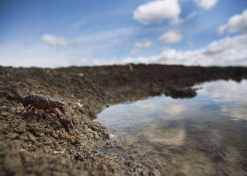 El patógeno que aniquila los cangrejos de río de todo el mundo proviene del sureste de EE UU
