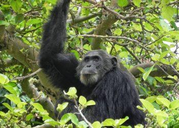 El uso humano de antibióticos pone en peligro a los chimpancés salvajes