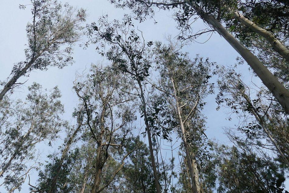 A Lei de Terras Agrarias revela o gran engano do Goberno de Feijóo co anuncio dunha moratoria para a plantación de eucalipto