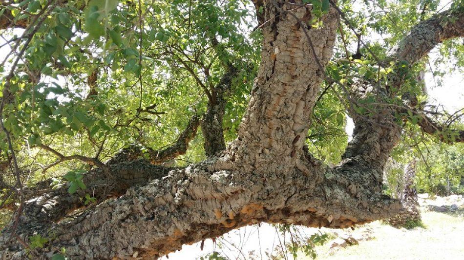 Tarifa advierte la utilización de fitosanitarios contra la lagarta peluda (Lymantria dispar) exigiendo explicaciones sobre el producto a utilizar