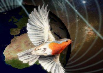 La mecánica cuántica puede actuar en la 'brújula' de los petirrojos