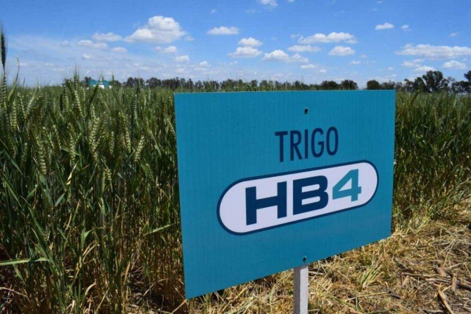 Postergan la votación para aprobar la liberación comercial del trigo transgénico HB4