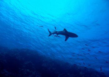 Unidas Podemos quiere frenar el declive en las poblaciones de tiburones y pide al Gobierno medidas en la gestión, al ser España líder en comercio mundial