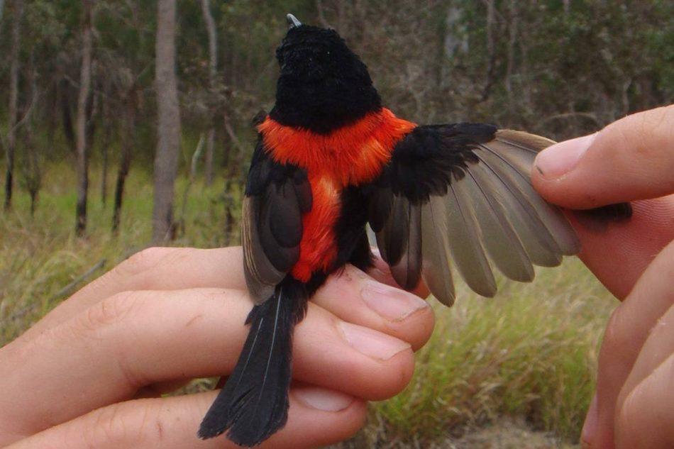 Los incendios forestales estropean el plumaje y la vida sexual de estos pájaros australianos